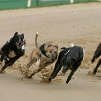 Colwick Park - Greyhounds racing on the track