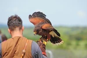 man falconry experience