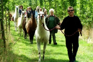 A group of people take Llamas for a walk