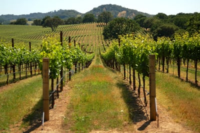 A picture of a vineyard