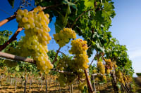 A vineyard tour with grapes and vines